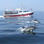 common_dolphins